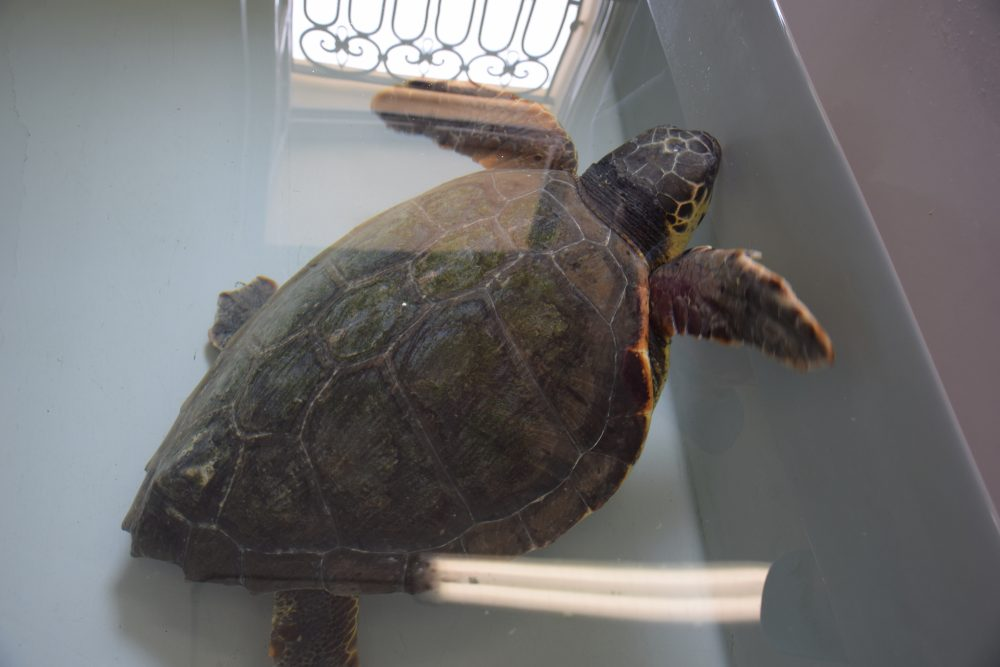 caretta caretta rescued